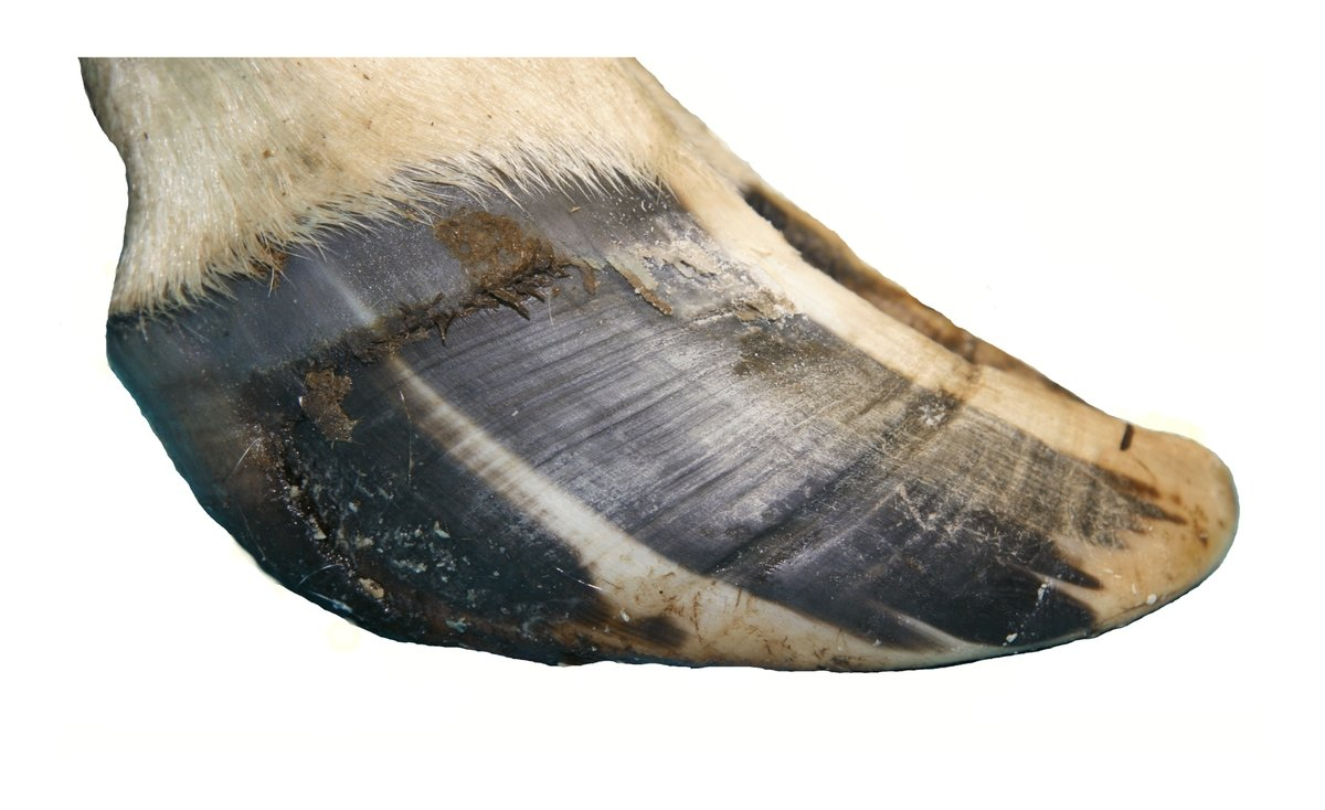 This is a lateral view of the claw of a dairy cow. A hardship groove is evident in the hoof wall, approximately 2/3 of the way from the coronary band to the tip of the toe. A small mark has been placed at the correct length for the front hoof wall.