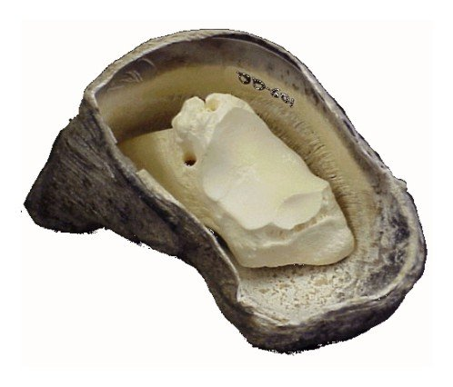 This image is of a P3 bone situated inside the claw capsule in approximately the anatomically-correct location. The insensitive laminae are visible on the claw capsule.