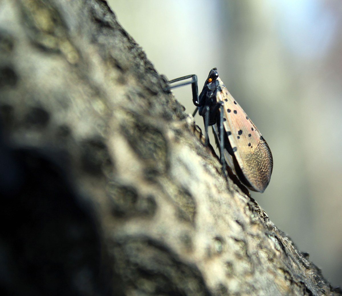 "When resting on trees, the adult Spotted Lanternfly holds its wings over the body ""tent-like"". The insects are large – 1 inch long and ½ inch wide.Photo: Nancy Bosold, Horticulture Educator, Penn State Extension, Berks Co."