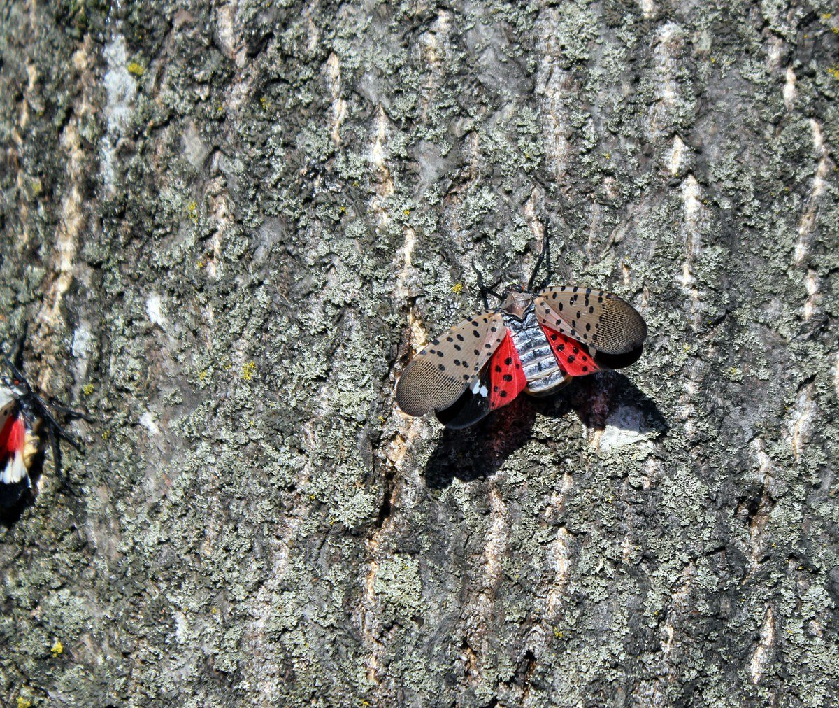 When disturbed, the adult Spotted Lanternfly may lift the top wings to expose black, white and red lower wings. They are easy to spot! The Spotted Lanternfly is also known by the common name Lanternmoth. It is neither a fly nor a moth – but a member of the planthopper family.Photo: Nancy Bosold, Horticulture Educator, Penn State Extension, Berks Co.