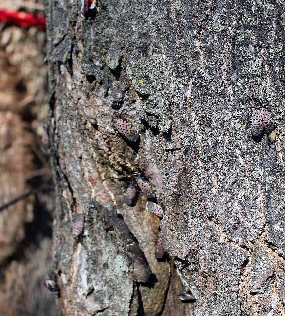 From as early as July until November, the Spotted Lanternfly adults may be present. You'll find them on the trunks of trees like Tree of Heaven (Ailanthus altissima) or trees growing around them. They are also reported on grape vines (Vitis sp.) Photo: Nancy Bosold, Horticulture Educator, Penn State Extension, Berks Co.