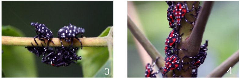 Beginning in late April to early May nymphs will hatch from egg masses laid on smooth bark, stone, and other vertical surfaces. Nymphs will complete four immature stages. The first stage (image #3) is black with white spots and wingless. As it grows, the Spotted Lanternfly will start to develop red patches (image #4) in addition to the white spots. Nymphs spread from the initial site by crawling and feeding on woody and non-woody plants.Photo: Nymphal Lycorma delicatula. Taken from Park et al. 2009