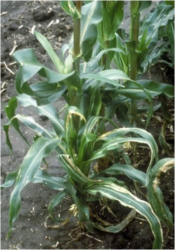 Corn plants showing Stewart's wilt symptoms. Photo credit: J.K. Pataky, University of Illinois at Urbana-Champaign, Bugwood.org