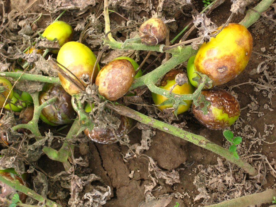 These plants were defoliated by late blight. The fruit have characteristic bronzing as well as some sunscald. Although infected by Phytophthora infestans, the fruit will remain firm until secondary soft rot pathogne invade.