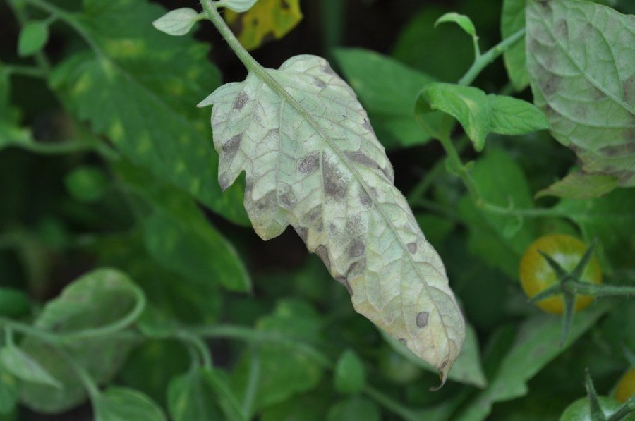 Grayish to olive-green sporulation on the lower leaf surface is associated with the chlorotic spots on the upper leaf surface.