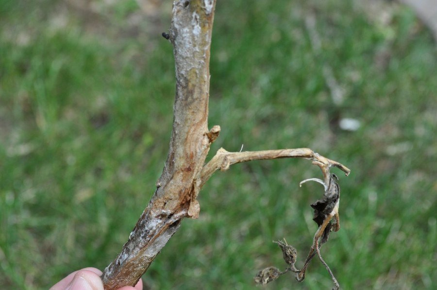 Infection by Sclerotinia sclerotiorum is usually initiated in leaf axils or stem joints where flower petals have fallen and lodged.