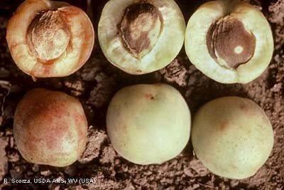 Photo acknowledgments: R. Scorza, USDA-ARS;
