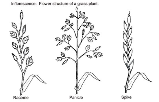 Inflorescence: The flower structure of a grass plant.