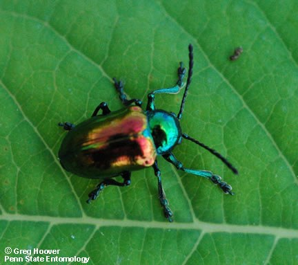 "The adult dogbane beetle, Chrysochus auratus, is about 10 mm (3/8"") long."