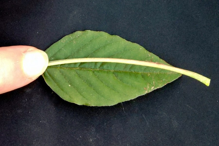 Palmer amaranth leaf blade. (W. Curran and D. Lingenfelter, Penn State)