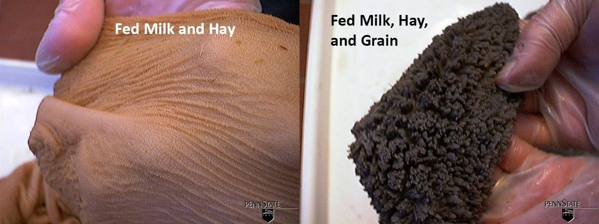 In calves fed milk and grain the papillae grow larger and the rumen walls thicken as calves get older. In comparison, calves fed milk and hay until 12 weeks have very limited papillae development, and the rumen walls remain thin, despite the consumption of appreciable amounts of hay.