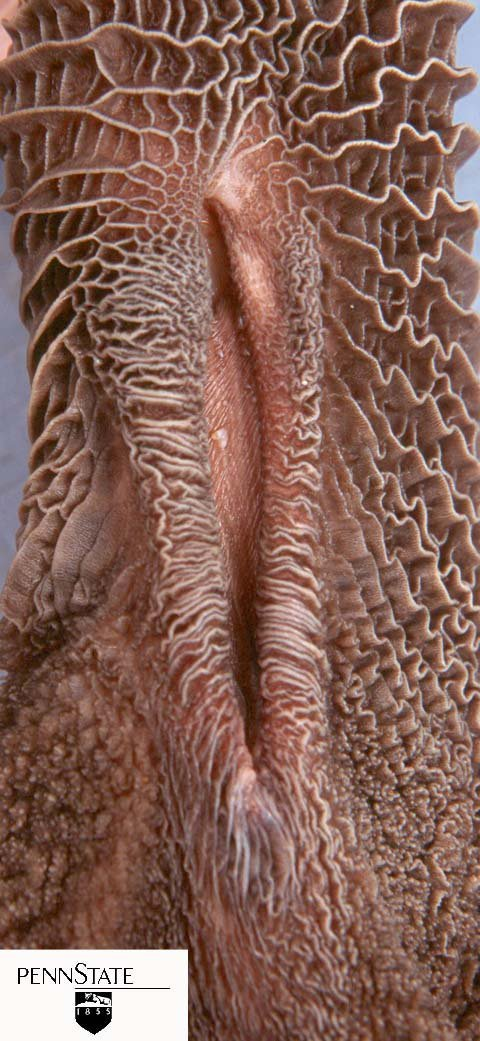 The esophageal groove is a muscular fold of tissue that closes when calves nurse, allowing milk or milk replacer to bypass the rumen and enter the abomasum. Drinking water does not trigger the esophageal groove, so water ends up in the rumen where it aids in creating an environment for rumen microbes to grow.