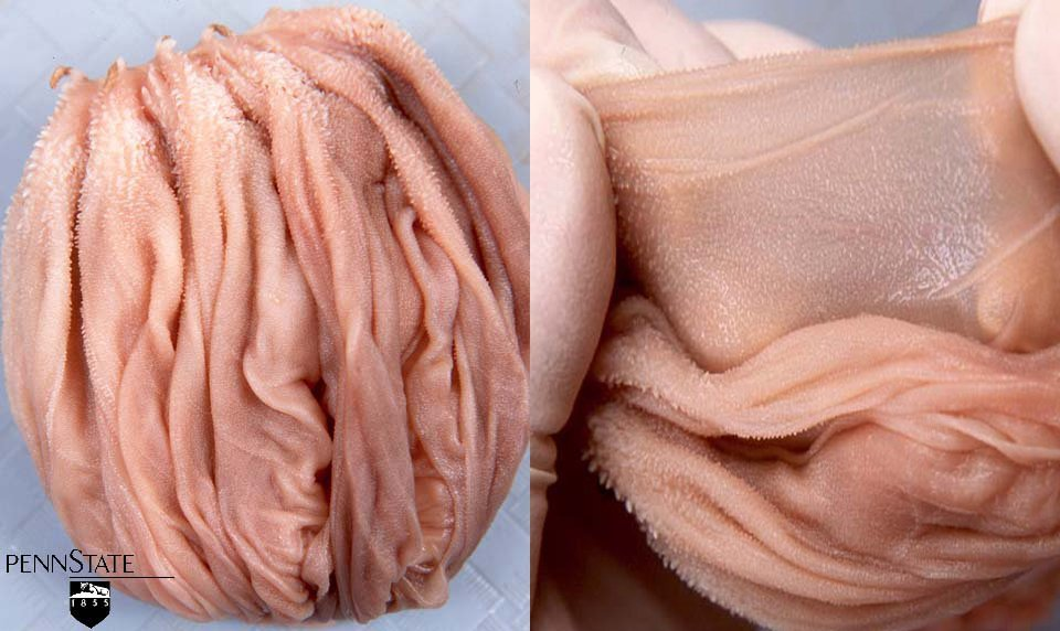 The omasum absorbs nutrients. From these photos, we can see it is designed for that purpose, with many folds of very thin tissue. Because of these many folds, the omasum provides about one-third of the total surface area in the ruminant stomach.