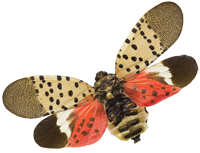 Spotted Lanternfly Image by Nick Sloff